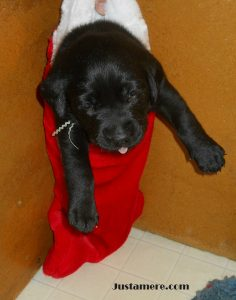 Justamere Ranch Lab puppy getting ready for Santa