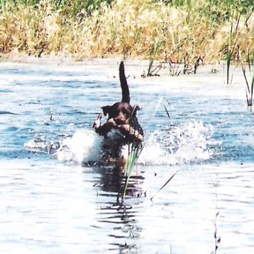Chocolate Labrador retrieving a duck to pass an AKC hunt test