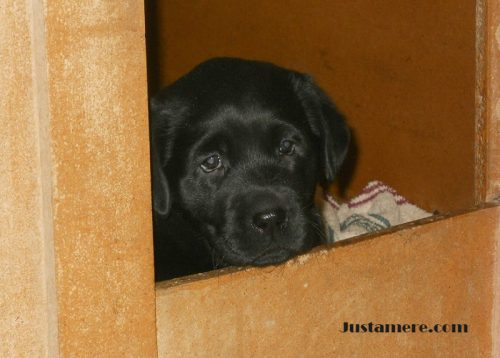 Lab puppy peeking out of the whelping box