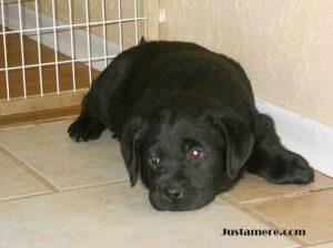 Purebred Labrador Retriever puppy