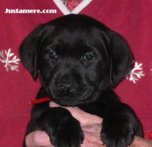 Cute Labrador puppy face