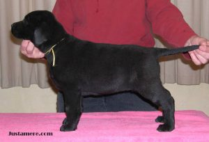 Show-bred Lab puppy learning how to stand on que