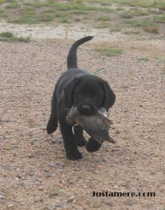 Labrador puppy retrieving his first bird