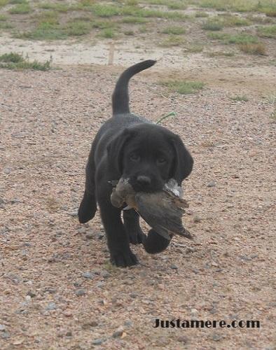 Labrador puppy retrieving his first bird