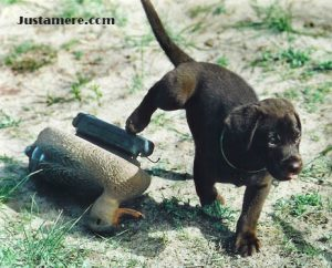 Chocolate Lab puppy and a duck decoy