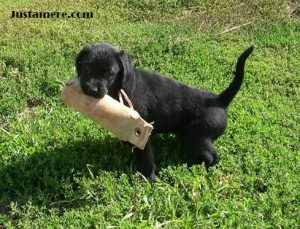 Show-bred Lab puppy taking a quick break during retrieving practice
