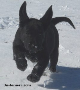 Lab puppy playing in the snow