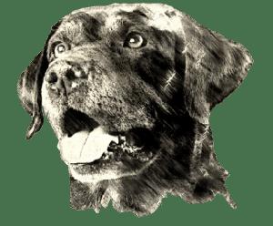 chocolate Labrador Retriever male