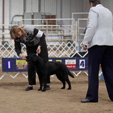 Black Lab competing in the puppy class at a dog show