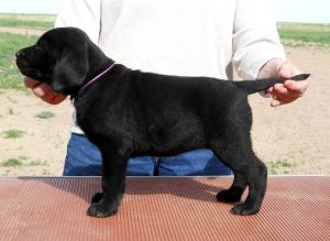 Lab puppy in a show dog pose