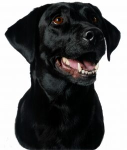 Arwen - a black Labrador Retriever