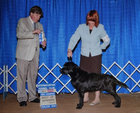 Black Labrador Retriever finishing his show championship with a major win