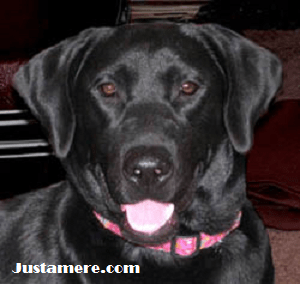 Black Lab female, Cat