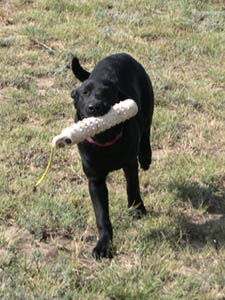 Black Labrador retrieving a bumper