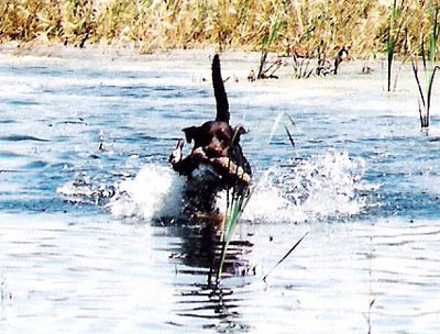 Retrieving a duck on his way to earning his Junior Hunter title