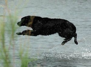 A Lab's big water entry to retrieve a duck