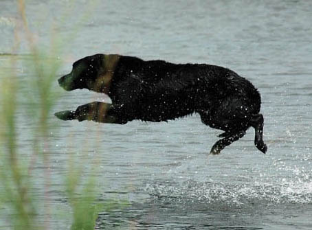 A Labrador Retriever big water entry to retrieve a duck