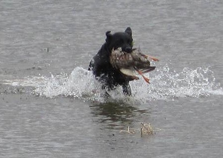 Black Labrador Retriever finishing a water retrieve