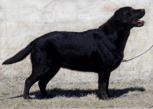 Stunning English Labrador Retriever