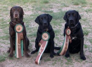 Hunting Retriever Champion - Chip's 12th title