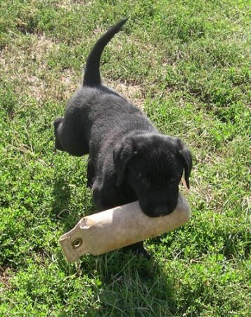 Labrador puppy retrieving a bumper