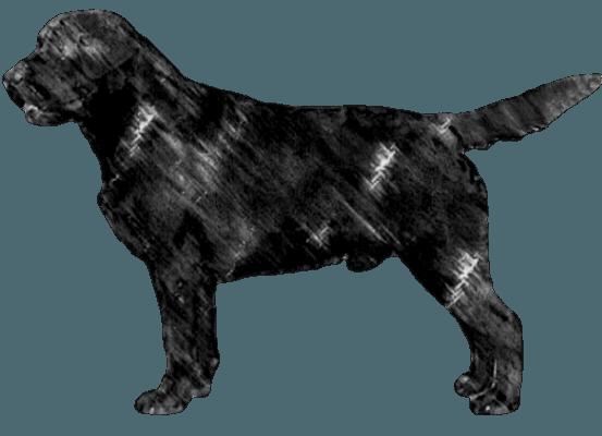 Akc Dual Purpose Labrador Retrievers In Colorado