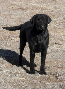 Black Lab standing in a field, waiting for the next command