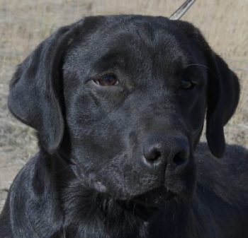 Black Lab head