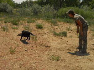 Black Lab puppy retrieves her first duck