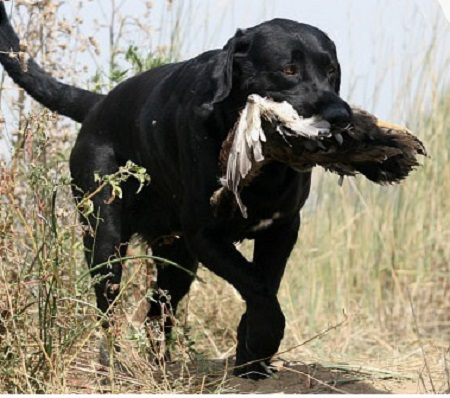 Tory, a black Lab, shown finishing his Senior Hunter title