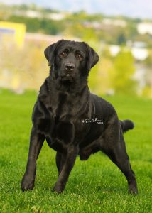 Ready to compete in the Labrador specialty show