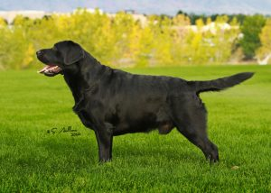 Black Lab stacked for the show ring