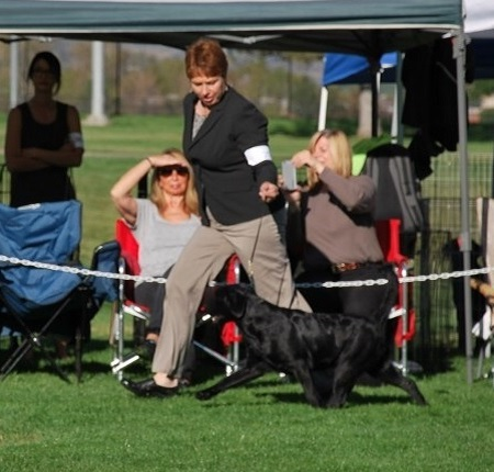 Wynk moving out at the Lab club specialty dog show