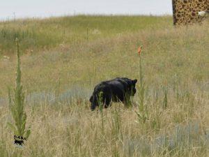 Black Lab retrieving a bird in the field