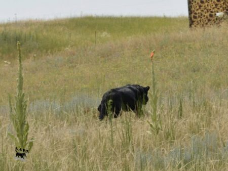 Black Lab retrieving a bird in the field