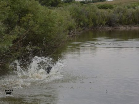 Big water entry for a black Lab going to retrieve a duck on a pond