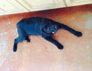 Labrador Retrievers come in black, yellow or chocolate. This one is black.
