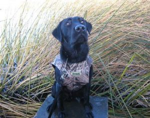 Hunting Labrador scans the sky for birds