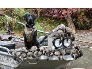 Black Labrador Retriever with the ducks he retrieved on opening day of hunting season