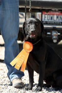 New hunt test title for a black Labrador Retriever