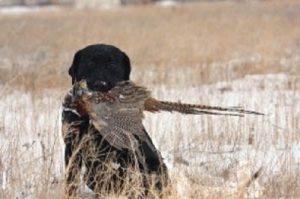 Black Lab retrieves a late-season pheasant