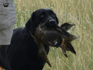 Female Lab retrieving ducks for her Working Certificate