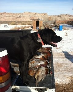 Labrador Retriever and the pheasants he retrieved near Palisade, Colorado