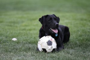 Labrador Retriever ready to join the soccer game