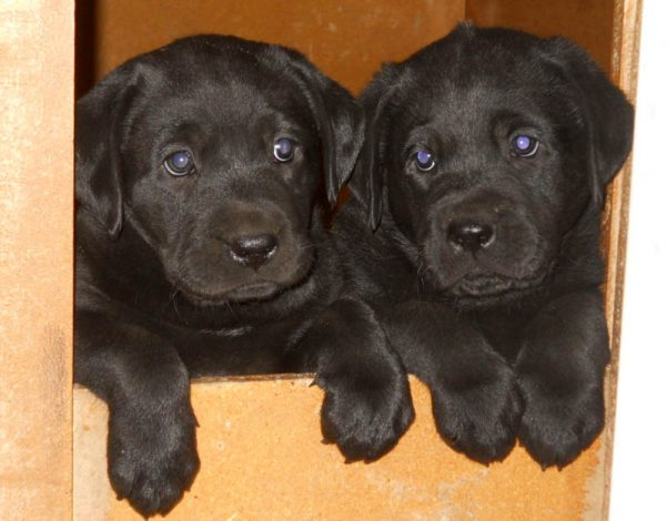 Two black Labrador puppies peek out from their whelping box
