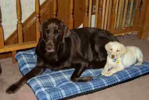 A chocolate Lab and a yellow Lab puppy
