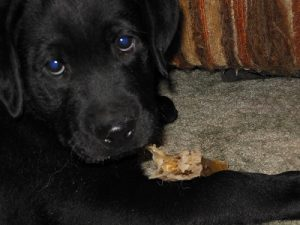 Cute black Labrador Retriever puppy