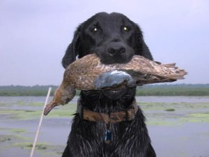 Black Labrador the the Blue-winged Teal she swam to retrieve