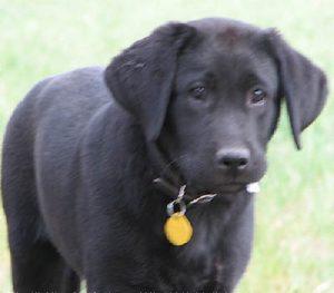 Handsome black Labrador puppy