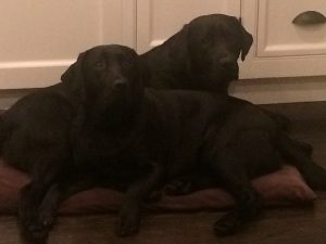Two Labrador Retrievers do their best to fit on one dog bed